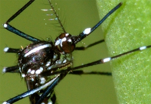 Close-up of Asian Tiger Mosquito