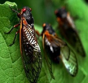 13-year cicadas