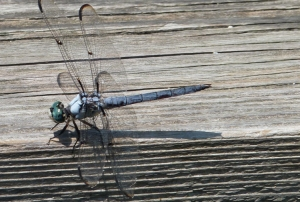 Splendor of late summer can be found via the dragonfly.