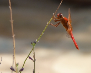 red_dragonfly