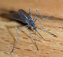 Mosquitoes transmit West Nile