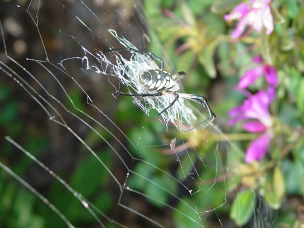 Argiope spider that eats mosquitoes