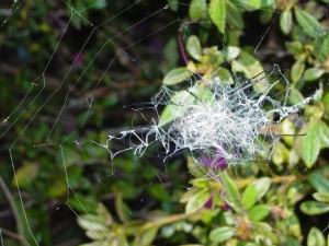 Argiope spider web detail