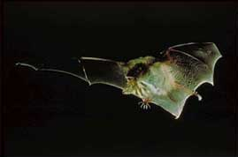 The bat can eat between 600 and 1,000 bats in a single hour