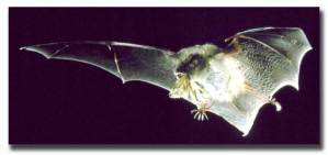 This photo shows a bat catching an insect