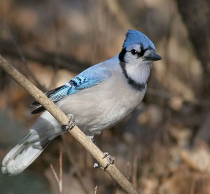Blue Jays and crows are more likely to die from West Nile Virus than other birds.